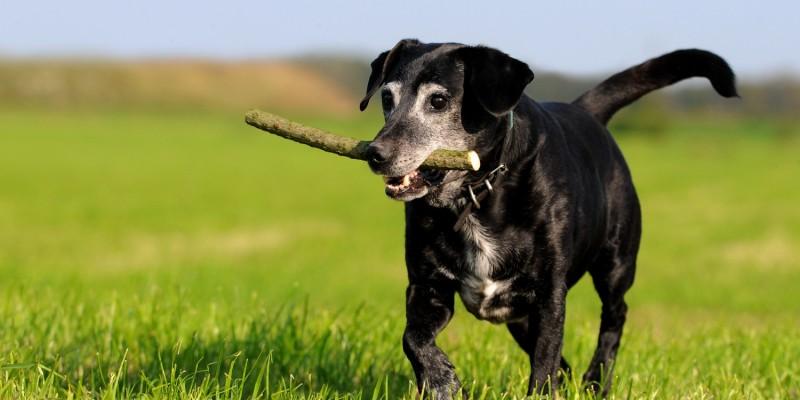 Hund mit Stock im Maul