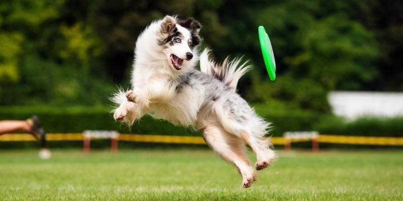 Hund springt auf Frisbee