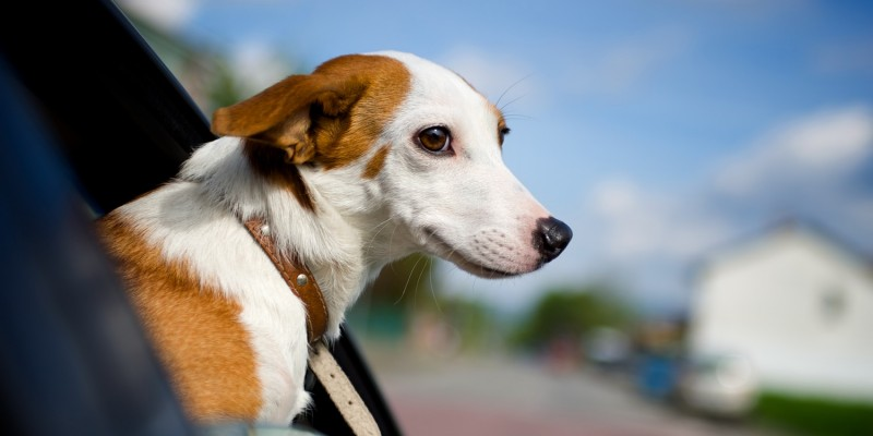 Hund auf Autofahrt