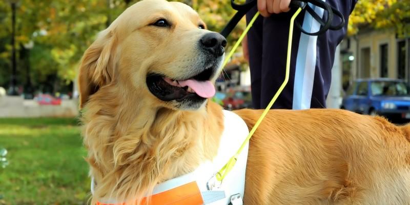 Hundegeschirr beim Blindenhund