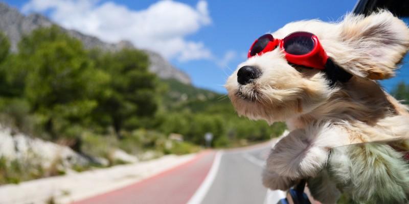 Hund guckt mit Sportbrille aus dem fahrenden Auto