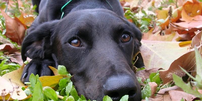 Labrador liegt im Herbstlaub