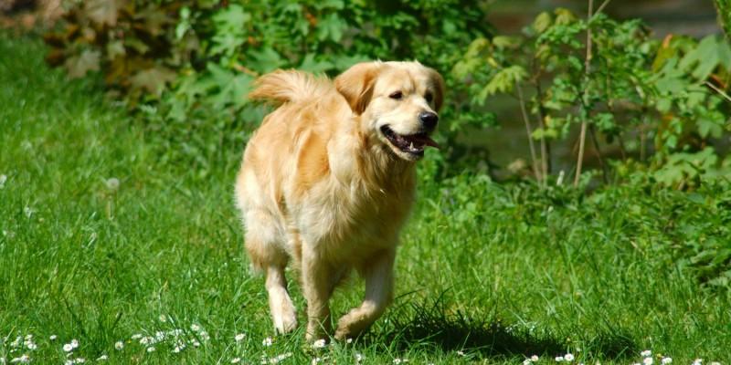 Hund läuft über eine Wiese